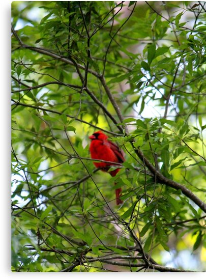 Perched Cardinal by Cynthia48