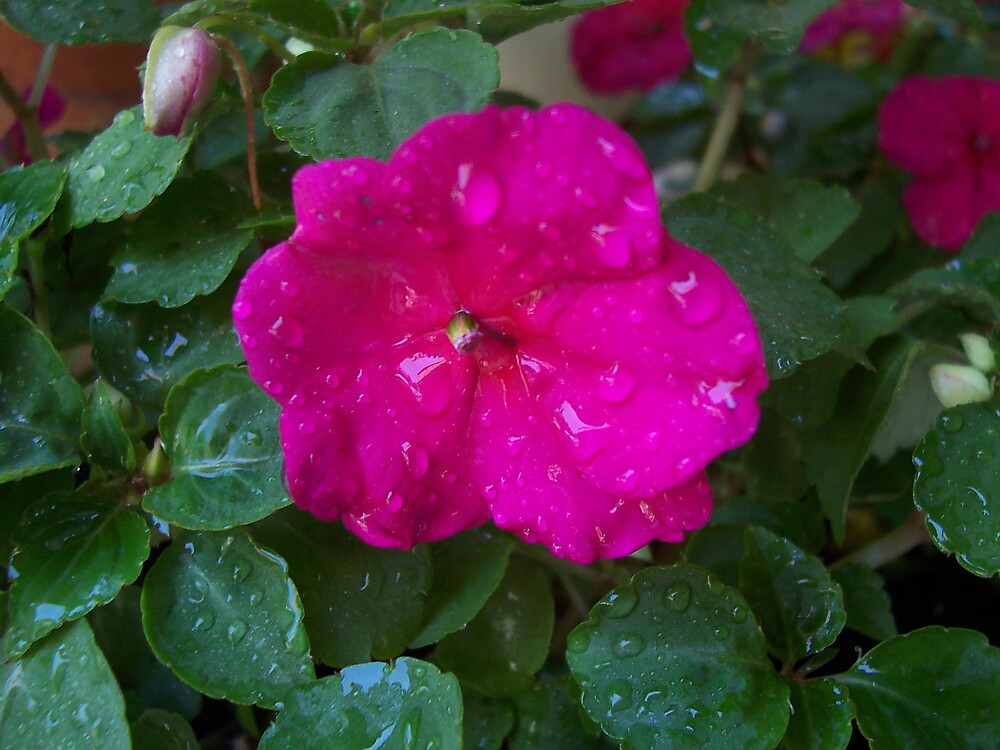 Pink Bloom by Abbetha Smith