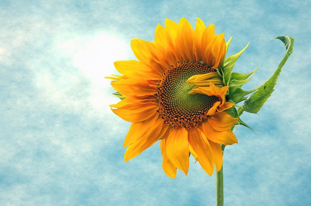 Sunflower by TrueBavarian