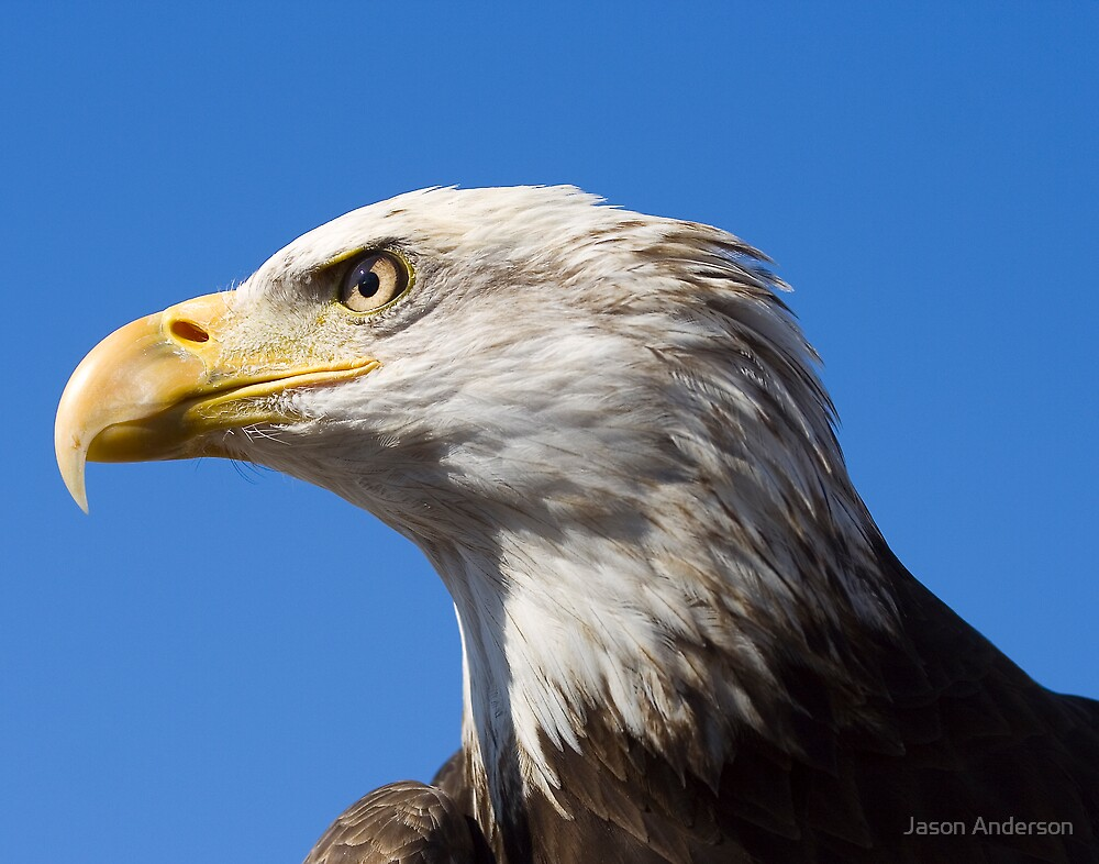 Bald Eagle by Jason Anderson