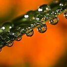 Marigolds trapped in raindrops by Celeste Mookherjee