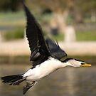 Darter Bird in Flight by palmerphoto