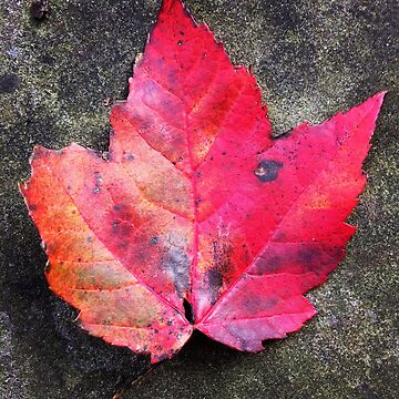 Red maple leaf by Hickoryhill