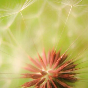 Dandelion in soft focus by apricotcoffee