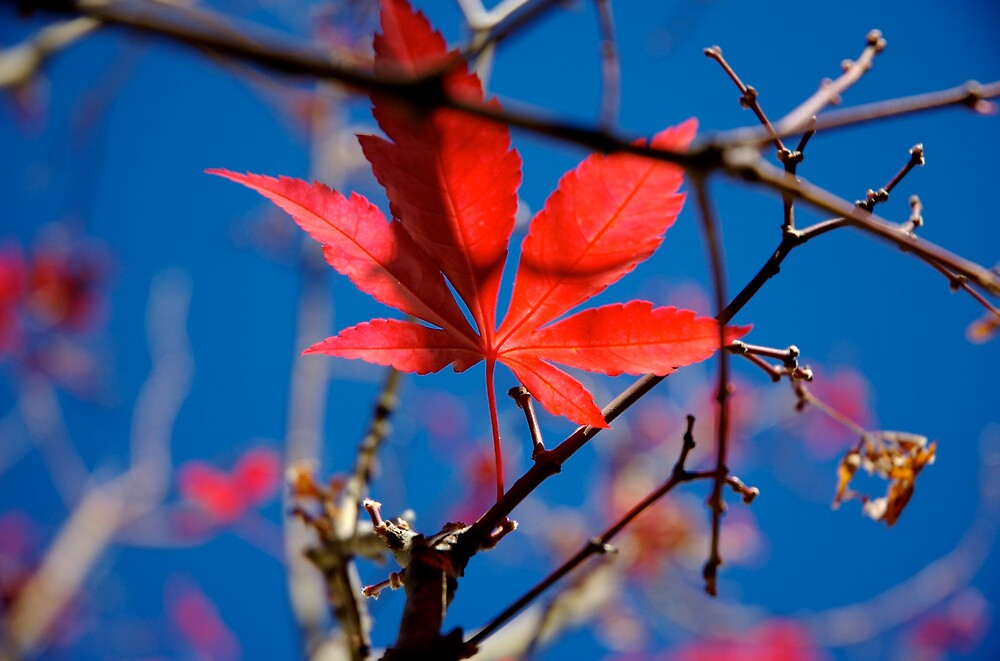 Red Is The Maple by Rowan Stenhouse
