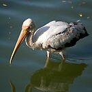 Bird walking through water by palmerphoto