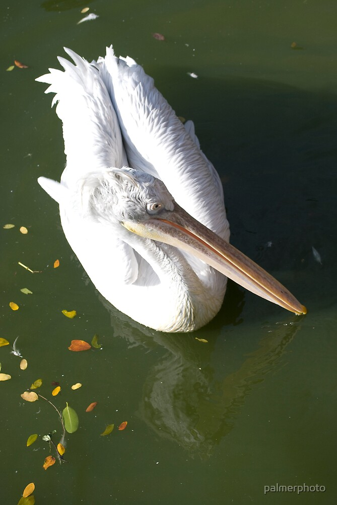 Pelican by palmerphoto