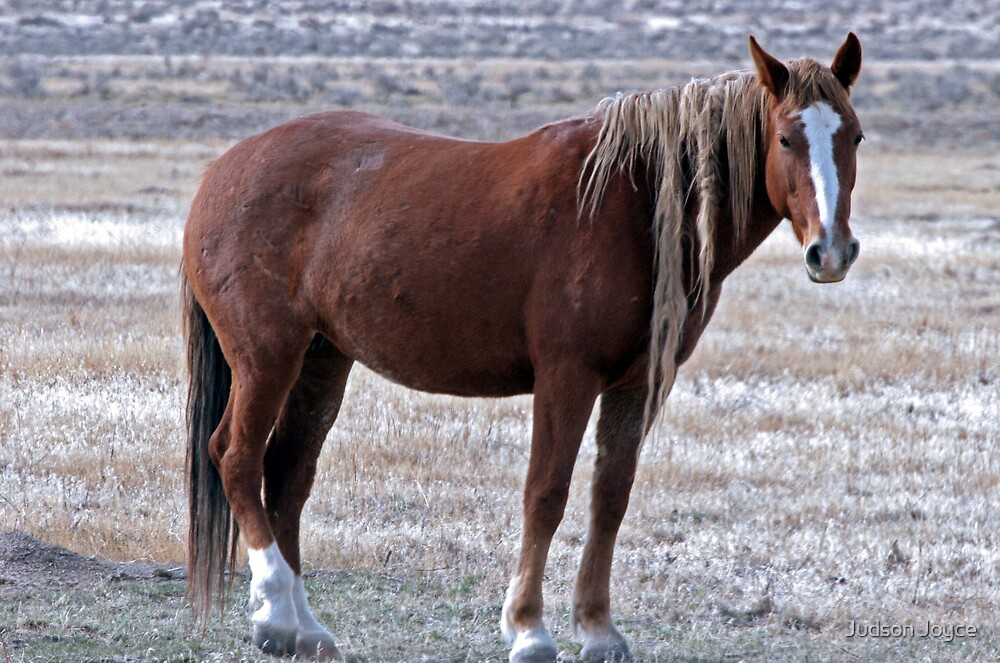 Wise Mustang by Judson Joyce