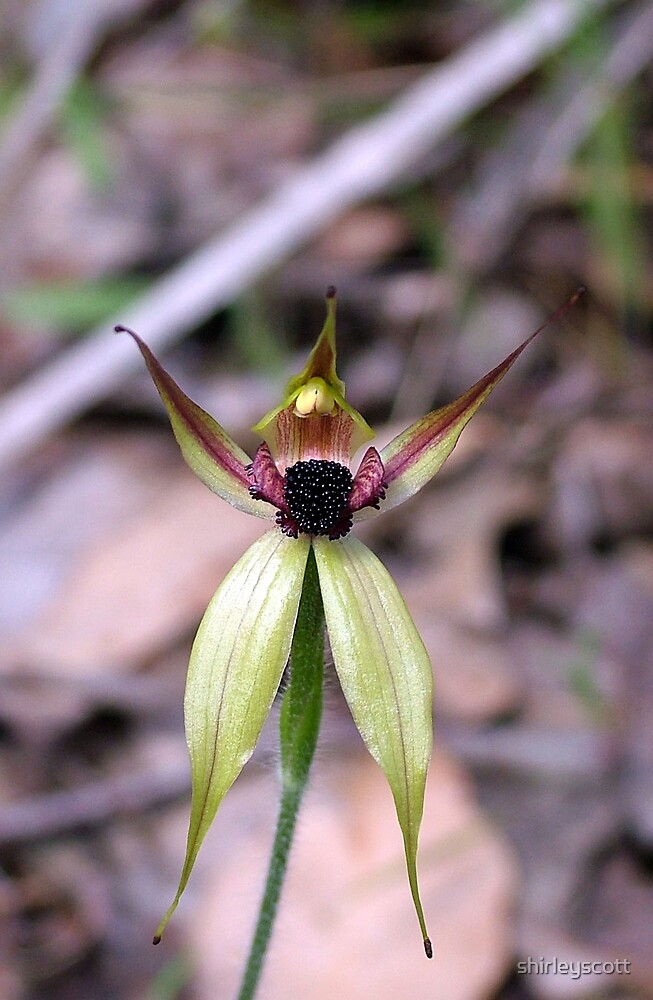 the leaping spider orchid by shirleyscott