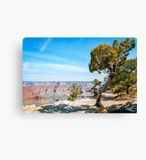 Windswept juniper tree at Hopi Point in Grand Canyon Canvas Print