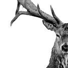 Red Deer - Head On - On White by George Wheelhouse
