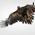 Wedge-tailed Eagle by James Stone
