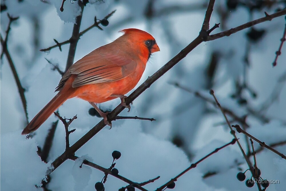male northern cardinal by AlRobinson