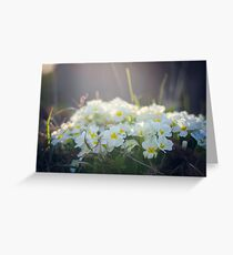 White primrose in the rays of the spring sun Greeting Card