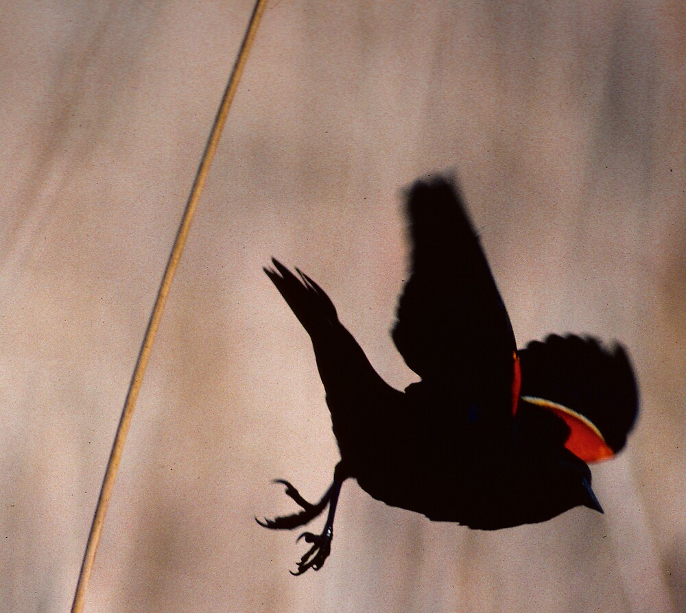 Red winged blackbird..I'm outa here.. by bertspix