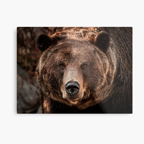 Grizzly Bear Close-Up Metal Print