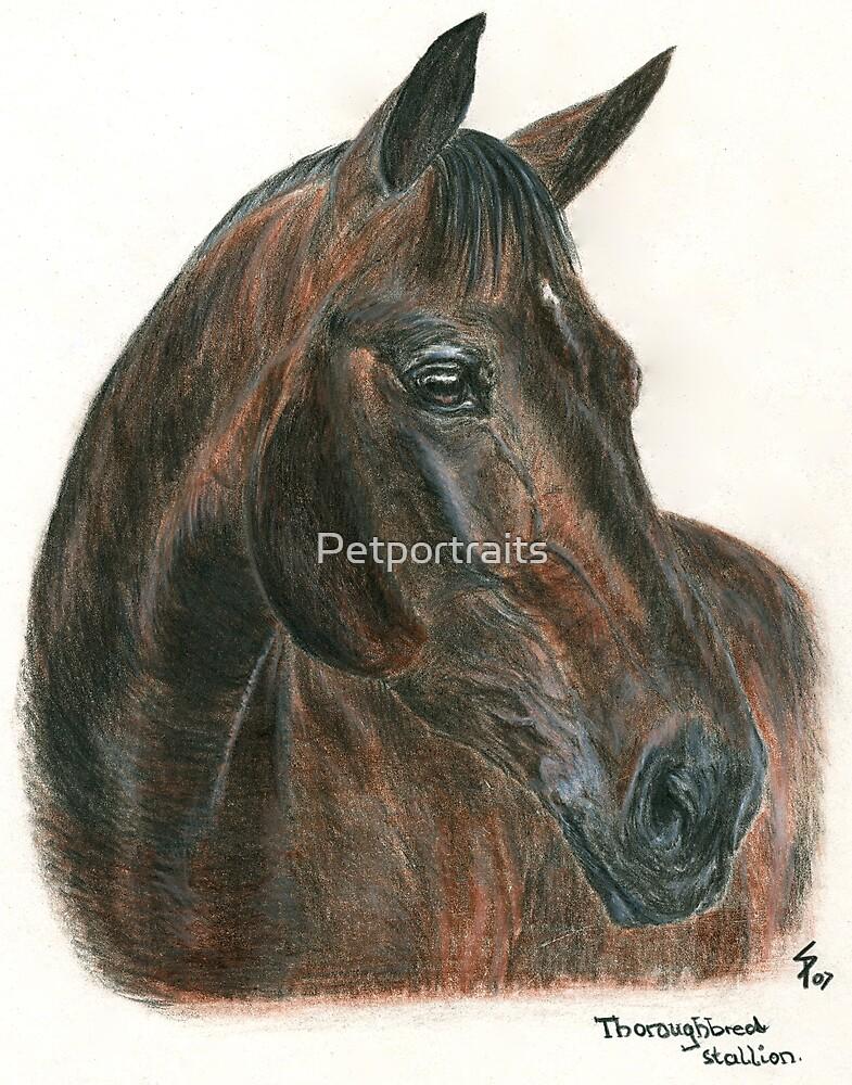 Thoroughbred stallion - head study by Petportraits