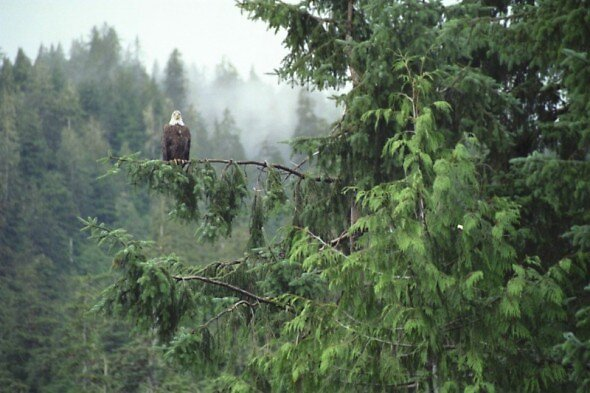 Alaskan Eagle by pwall