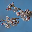 Fragile Cherry Blossoms by Gerda Grice