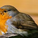 Robin Red Breast by Robert Gipson