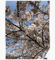 spring cherry blossoms, pink flowers. Japan. Poster