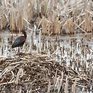 White-faced Ibis 2017-1 by Thomas Young