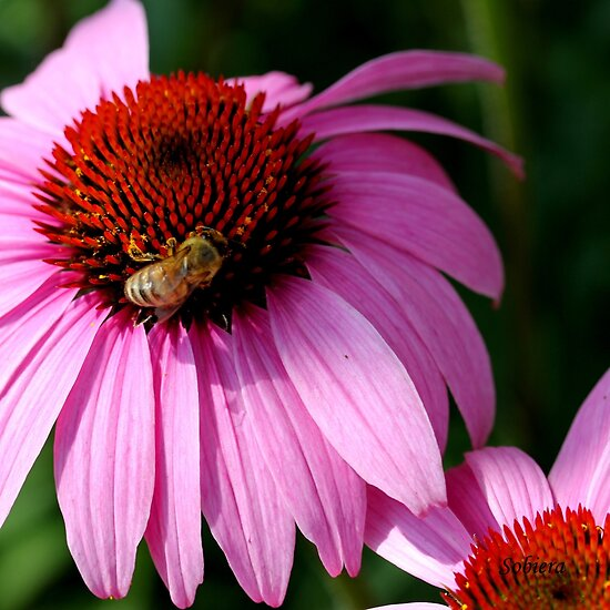 In the Pink 3 by Rosemary Sobiera