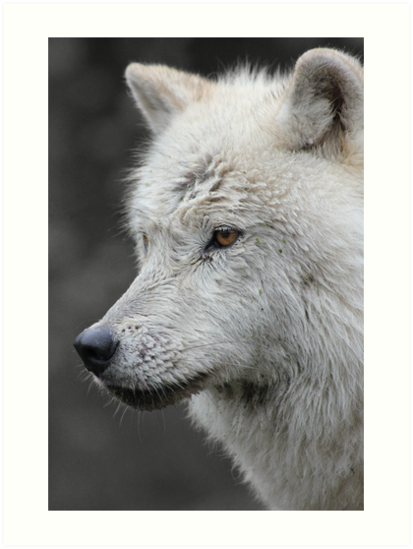 Side Portrait of an Arctic Wolf by Vicki Spindler (VHS Photography)