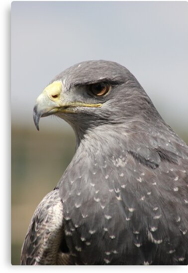 Chilean Eagle by Vicki Spindler (VHS Photography)