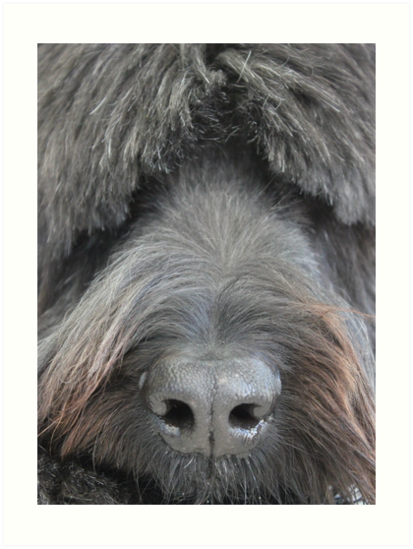 The Face of a Briard by Vicki Spindler (VHS Photography)