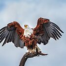 Maestro Fish Eagle by Owed To Nature