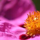 Pink Rockrose by Henrik Lehnerer