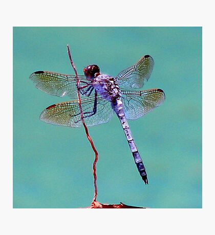 Dragonfly Dreaming Photographic Print