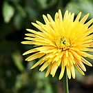 Yellow Gerbera by DPalmer