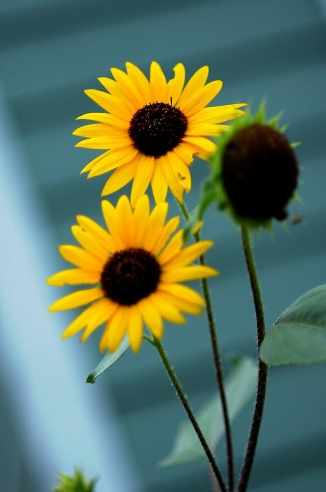 Sunshine Sunflowers by trulyshannon