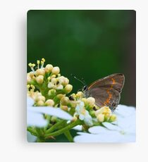 First Macro of the Season: Gray Hairstreak Canvas Print