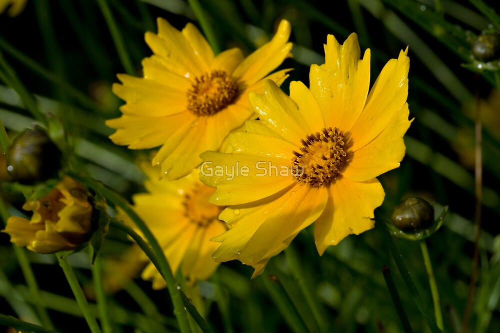 Coreopsis - The Mountain Invader by Gayle Shaw
