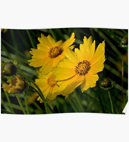 Coreopsis - The Mountain Invader Poster