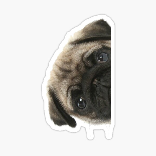 Peek A Pug Sticker