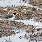 Black-necked Stilt 2017-1 by Thomas Young