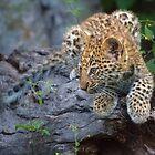 Leopard Cub Versteck von Owed To Nature