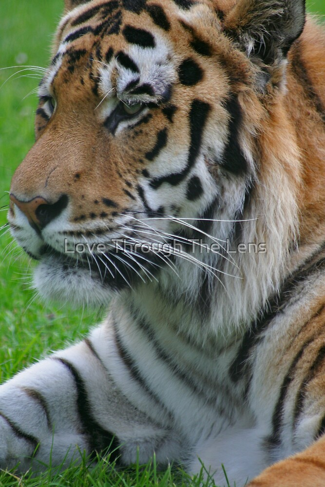 Tiger Portrait by Love Through The Lens