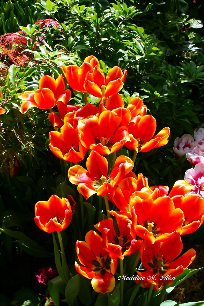 Orange Tulips by Madeline M  Allen