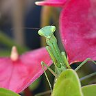 Praying Mantis - Good Morning.....I just popped in to say hello...!! by Roy  Massicks