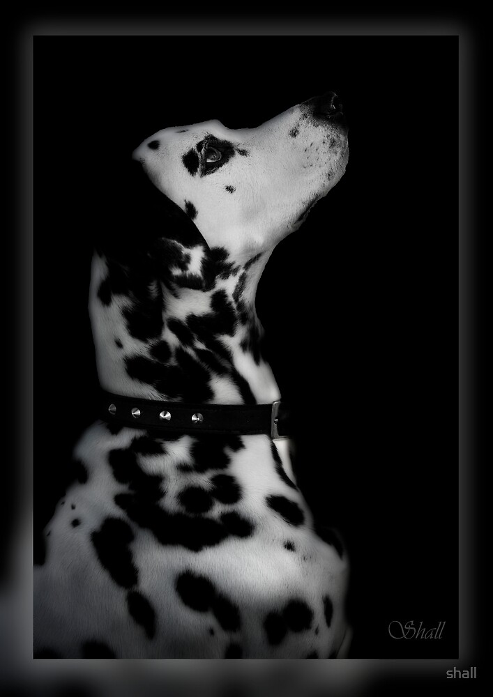 Dog in Black and White... by shall