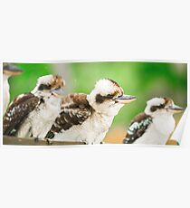 Kookaburras gracefully resting during the day. Poster