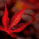 One red leaf by Celeste Mookherjee