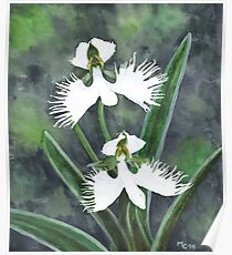 White egret orchid flowers (Habenaria Radiata) Poster