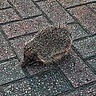 Hedgehog by Doug Cook