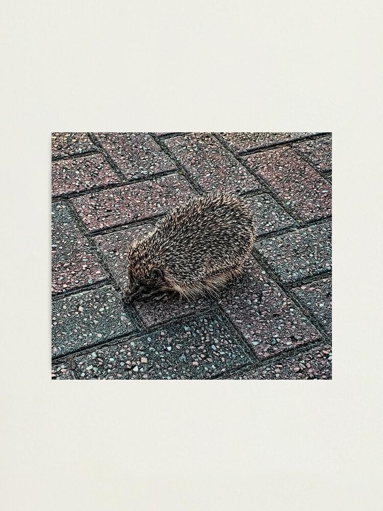 Alternate view of Hedgehog Photographic Print